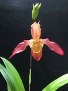 Phragmipedium Eric Young Dancing Doll Hcc/aos Orchid Blooming Size Plant 4