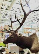 7 X 6 Elk Shoulder Mount Taxidermy Head Removable Antlers Shed Rack Gorgeous
