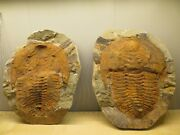 Crystal And Fossil Art - Single Large Rare Genuine Trilobite Fossil