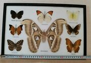 Framed Real Collection Taxidermy Frame.real Atlas Moth.165х107 In.8 Butterfly