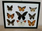 Framed Real Collection Taxidermy Frame.the Great Mormon .32.5x25.5cm.9 Butterfly