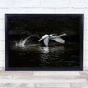 Flying Swan Bird Bruges Water Take Off Take-off Animals Wall Art Print