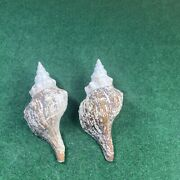 Extra Large Horse Conch Sea Shell 12 And 11 Inches Long Rare Fast Shipping