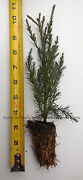10 Giant Sequoia Tree - California Redwood - Potted - 5 - 8 Tall Seedling
