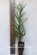 10 Giant Sequoia Trees - California Redwood - Potted - 8- 12 Tall Seedlings