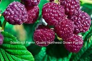 3 Potted Royalty Purple Raspberry Plants - Sweet Great Flavor Productive