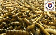Live Superworms - Organically Raised - All Sizes / All Counts Free Shipping