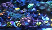 Mixed Lps/sps/zoa 15 Frag Pack Live Coral Free Overnight Shipping