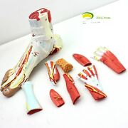 Rs Foot And Ankle Joint Ligament Model Functionl Display Teaching Muscle Anatomy