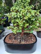 Large Jade Bonsai Tree For Beginners Low Light Great For Home Or Office