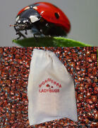 150 Premium Fresh Live Ladybugs Think Fresh In Stock Now