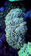 Aussie Yellow-gold Tip 🔥 Frogspawn Wysiwyg Live Coral Frag 4 Head Colony Rare