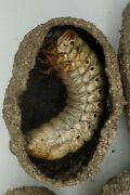 65mm Dried Dynastes Granti Cocoon And Pre Pupa Specimen
