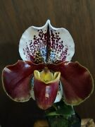 Paph Sparsholt Xrolling Thunder X Personality - Blooming Size - Sale