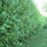 26 Hybrid Aussie Willow Tree Cuttings - Fastest Growing Tree In The World