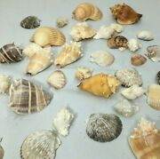 Sea Shells Lot 40 Pieces Collector Conch And More