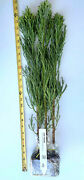3 Giant Sequoia Trees - California Redwood - Potted -16- 24 Tall Seedlings