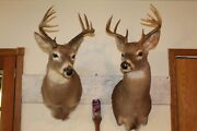 Pair Whitetail Deer Heads Shoulder Mounts Taxidermy Shed Antler Hunt Mule Cape