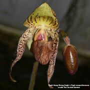 Bin Paphiopedilum Hung Sheng Eagle X Paph Moquetteanum 3 1/4and039and039 Pot S893
