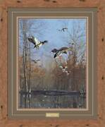 Green Timber - Mallards Framed Limited Edition Print By Scot Storm