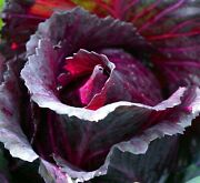 Mammoth Red Rock Cabbage Seeds Solid Heads Perfect For Home Or Market Gardening