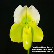 Bin 9659 Paph Hung Sheng Curet X Hung Sheng Curet And039bearand039 3 1/4and039and039 T386