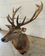 Taxidermy 12 Point South Pacific Red Stag Deer Large 50and039and039x 33and039and039
