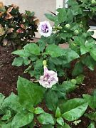Datura Metel Brand New Fresh Seed Pods Purple Flowers Fragrant About 100 Seeds