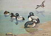 Original Duck Painting Of Greater And Lesser Scaup By Allan Brooks, C1919, Framed