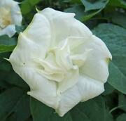 Datura Metel   Double White Purity   5 Seeds