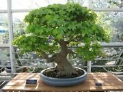 Silver Maple Tree Thick Trunk Cutting 6-9 Years Old Pre-bonsai Unrooted