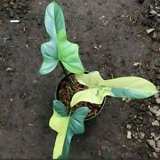 Philodendron Violin Variegated Beautiful Plant
