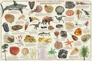 Collectible Fossils Poster 61x91cm Educational Wall Chart Picture Print New