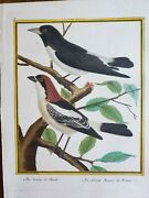 Martinet And Buffon Antique Hand Colored Birds Engraving Plate 9 Pie-griêche