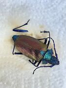 Rare Coloring Prioninae Pyrodes Nitidus Brazil Longhorn Beetle A2 - 43mm - Look