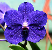 Vanda Patchara Delight 'blue', Orchid Plant In Spike/bloom
