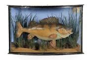 Taxidermy Antique Fish Perch 1905 In Bow Fronted Glass Display Case