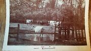 1890's Antique Cabinet Card Graphoscope Photograph Cows Cattle Vicarwood Derby