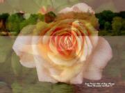 Swan Peach Roses And Rose Bud Signed 8.5 X 11 Hand Signed Fantasy Art Print