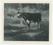 Antique Bull Steer Cow Harness Walking In Shadow And Sunlight Miniature Art Print