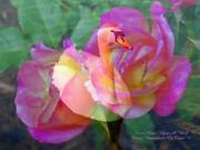 Swan Once Upon A Wish Pink Rose Charming 8.5 X 11 Hand Signed By Artist Print