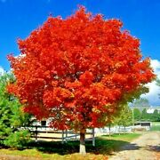 Red Sunset Japanese Maple Acer Rubrum Landscaping Tree Seeds Or Bonsai