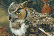 In Focus - Great Horned Owl Carl Brenders Limited Edition Giclee Canvas