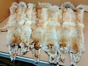 Tanned Western Xxl Hvy Rare Red Coyote Hide Slight Damage/furs/taxidermy/crafts