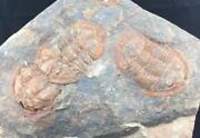Amazing Triple Lannacus Trilobite Fossil From Morocco S1