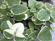 Variegated And Green Cuban Oregano 6 Plant Cuttings Plectranthusandnbspthyme 3 Each