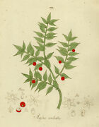 Rare Antique Drawing-butchers Broom-ruscus-happe-1788