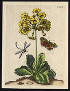 Antique Print-insects-mountain-cowslip-bearand039s Ear-dragonfly-pl. 165-merian-1730