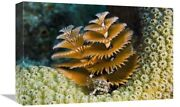 Christmas Tree Worm Filter Feeding While Attached To Great Star Coral Bonair...