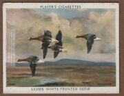 Lesser White Fronted Goose Migratory Wild Fowl 1930s Ad Trade Card